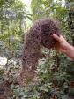 En nedfalden rede fra en væver